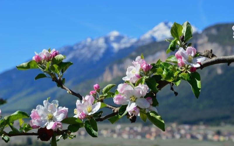 fioritura dei meli